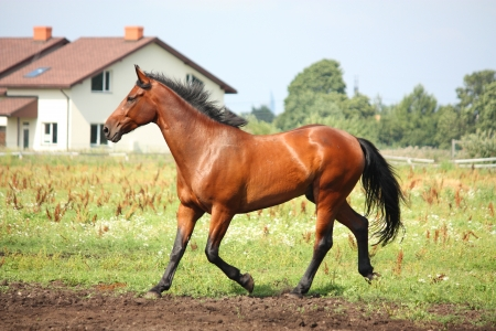 Brown horse trotting at the field in summer Stock Photo - 17234100