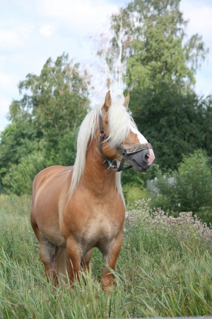 draught horse: Beautiful palomino draught horse portrait at the field in summer