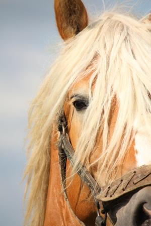draught horse: Beautiful palomino draught horse head close up with halter