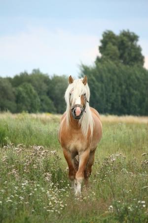 draught horse: Beautiful palomino draught horse walking at the field in summer Stock Photo