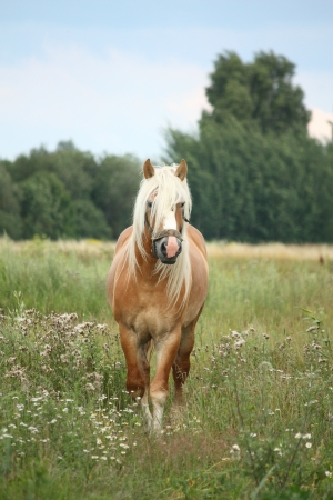 draught horse: Beautiful palomino draught horse walking at the field in summer Stock Photo