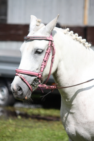 bridle: Beautiful white pony with pink bridle portrait