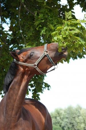 horse collar: Bay latvian breed horse eating green tree leaves