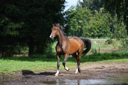 Bay horse trotting at the meadow in summer Stock Photo - 17627711