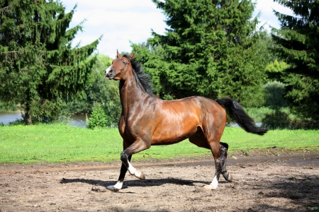 Bay horse trotting at the meadow in summer Stock Photo - 17752703