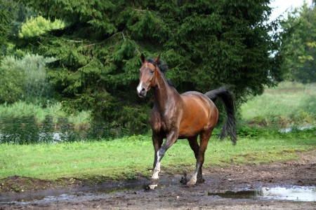 Bay horse galloping free in the meadow in summer photo