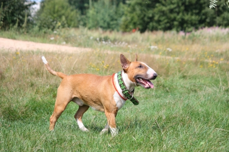 bull terrier: Red and white english bull terrier walking at the field in summer