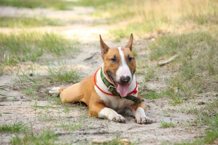bull terrier: Friendly english bull terrier resting on the ground in forest