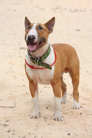 behave: Red and white bull terrier standing at the beach sand Stock Photo