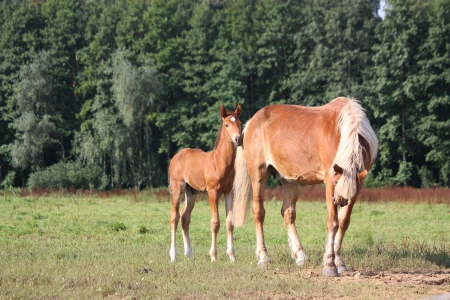 Young foal standing at the pasture with his mother in summer photo