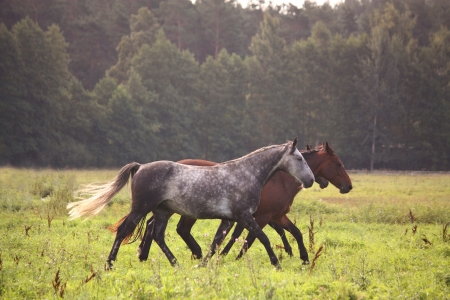 Horse herd running free on pasture in summer photo