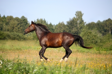 Beautiful bay horse galloping at the pasture in summer photo