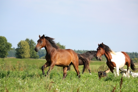 Two horses running at the pasture with dogs in summer photo
