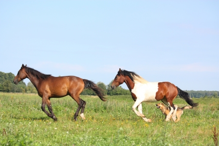Two horses running at the pasture with dogs in summer