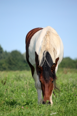 skewbald: Skewbald brown and white horse at the pasture in summer