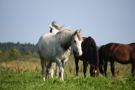 Two white horses walking at the field together photo