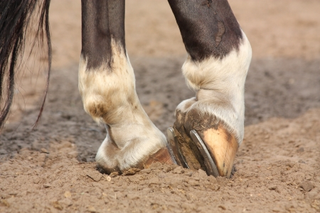 Black horse hoofs with horseshoe close up photo