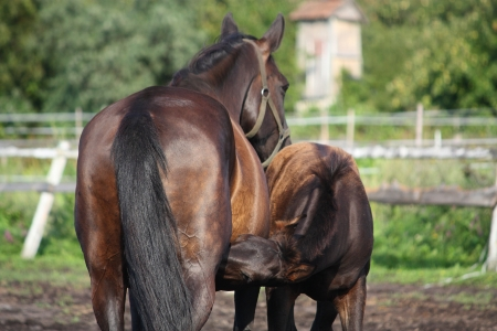 Black foal nursing from its mother in summer photo