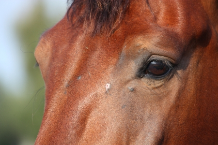 Close up of brown horse head and eye in summer photo