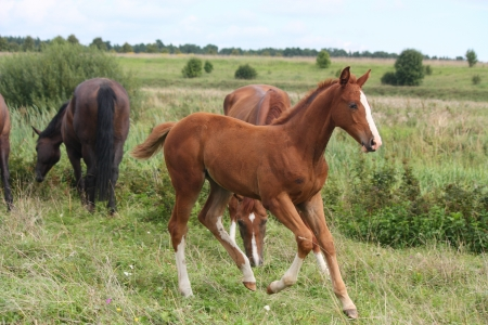 Young chestnut foal running free at the pasture photo