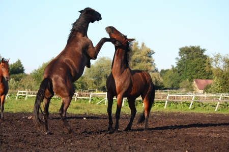 Two horses fighting at the pasture in summer photo
