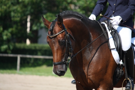 Bay horse portrait during dressage competition photo