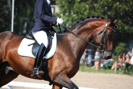 Bay horse portrait during dressage competition