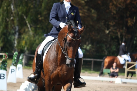 Bay horse portrait during dressage competition