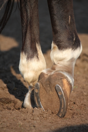 Close up of horse hoof with metal horseshoe photo