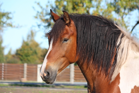 piebald: Retrato de hermoso caballo picazo Foto de archivo