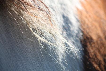 piebald: Piebald horse mane close up  Stock Photo
