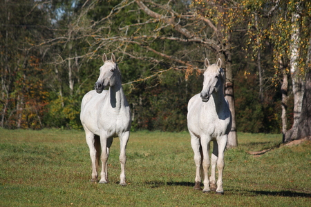 Two white horses standing at the pasture photo