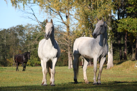 gelding: Two white horses standing at the pasture