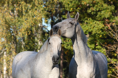 Two white horses together portrait in the forest photo