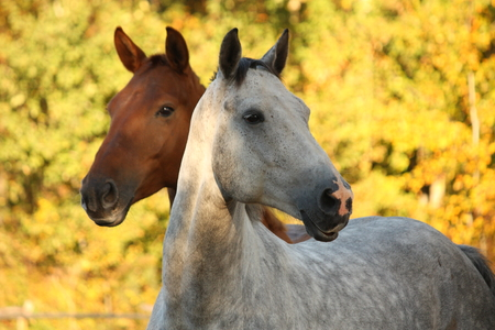 Portrait of gray akhal-teke in autumn and brown horse behind it photo
