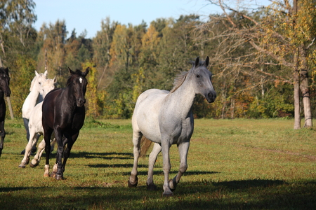 lipizzan horse: Wild herd running free at the pasture Stock Photo