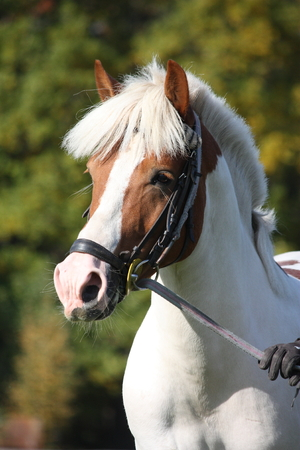 Beautiful white and brown arabian horse portrait in summer photo