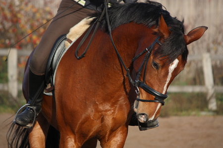 Portrait of brown sport horse under the saddle photo