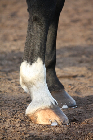 Close up of horse hoofs with shoes