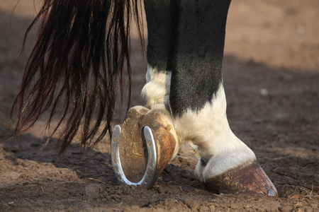 Close up of horse hoofs with shoes photo
