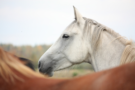 gelding: White horse at the pasture in autumn Stock Photo