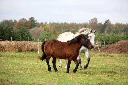 Pony and horse running together at the pasture photo