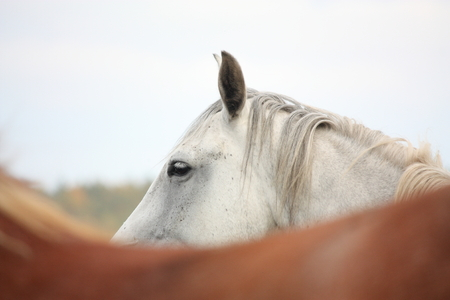 White horse at the pasture in autumn photo