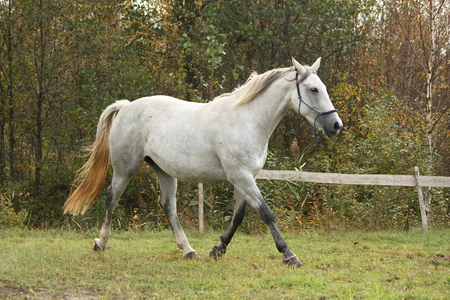 trotting: Beautiful white arabian horse trotting in the forest