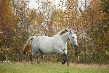 gait: White arabian horse galloping free in autumn