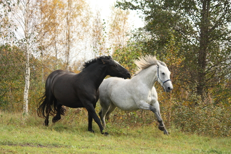 Black and white horse galloping at the field Stock Photo