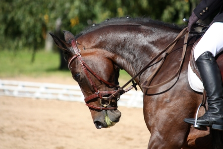 Black horse portrait during dressage competition photo