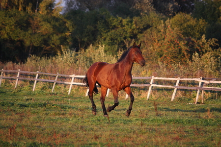 Brown horse galloping free at the pasture photo