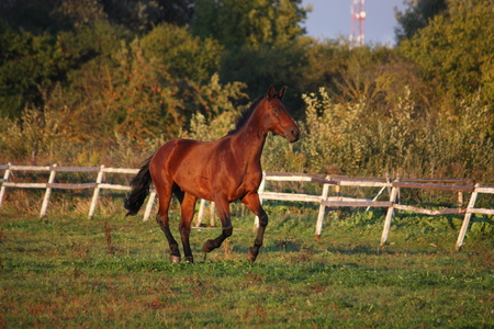 Brown horse galloping free at the pasture