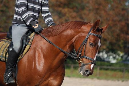 gait: Chestnut sport horse portrait with rider